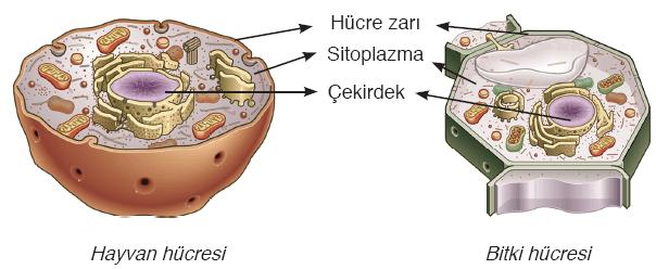bitki-hayvan-hucresi