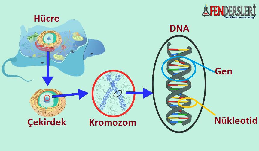 kromozom-dna-gen-nukleotid