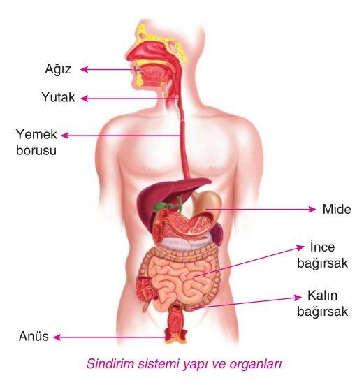 sindirim-sistemi-organlari