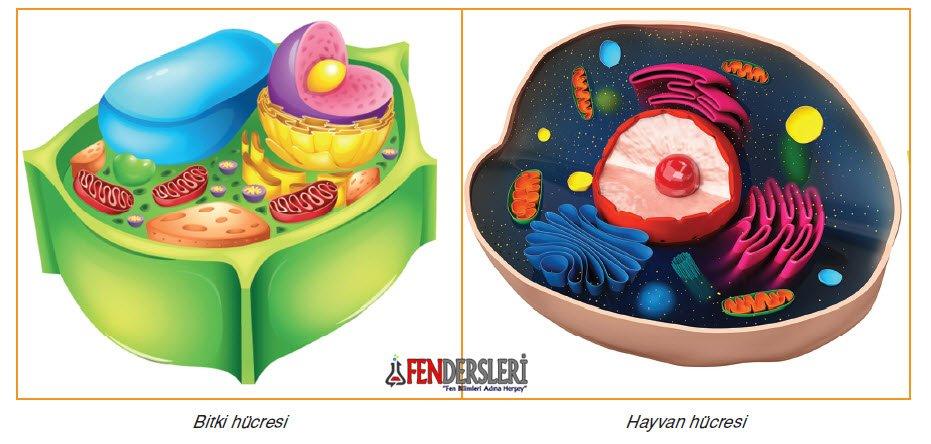 bitki-ve-hayvan-hucresi-farklari