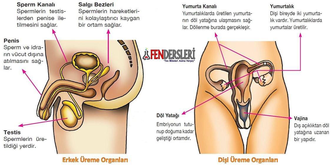 erkek-ve-disi-ureme-organlari
