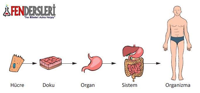 hucre-doku-organ-sistem-organizma