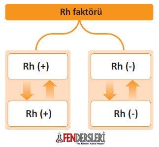 kan-rh-faktoru