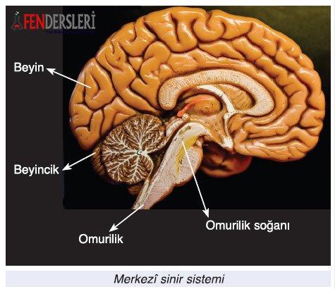 merkezi-sinir-sistemi