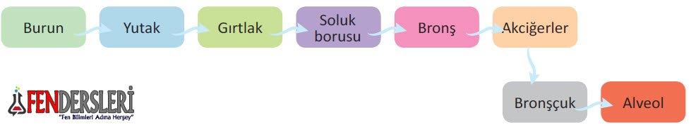 solunum-sistemi-organ-sirasi