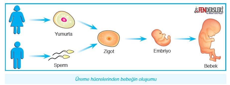 yumurta-sperm-birlesimi